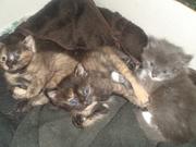 отдам трехцветных очароватных котят
