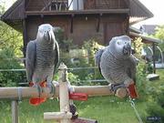 очаровательны и чудесные talkertive африканский серый попугай на прода