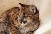 Гепард,  леопард и пума детенышей для продажи