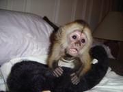 Замечательный Прекрасный капуцинов обезьяна