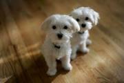 мужские и женские мальтийский щенки