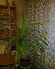 Комнатное растение , 110х110см,  для офиса и дома,  доставка